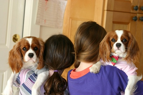 Cavaliers Baby Ruth and Pixi Stix being cuddled by their owners.