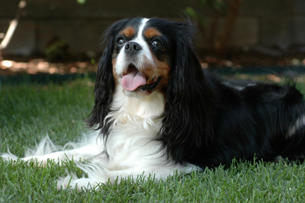 Peanut, my first Cavalier King Charles Spaniel