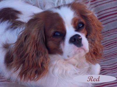 Red, a Cavalier King Charles Spaniel puppy